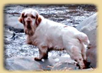 Clumber Spaniel: Pinecliff Lord Young Harris